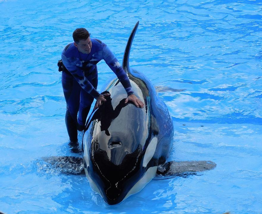 Muere repentinamente la orca más joven de SeaWorld San Diego
